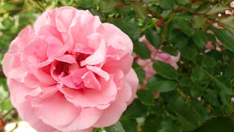 rose_201605